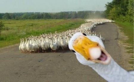 Stand out duck.jpg